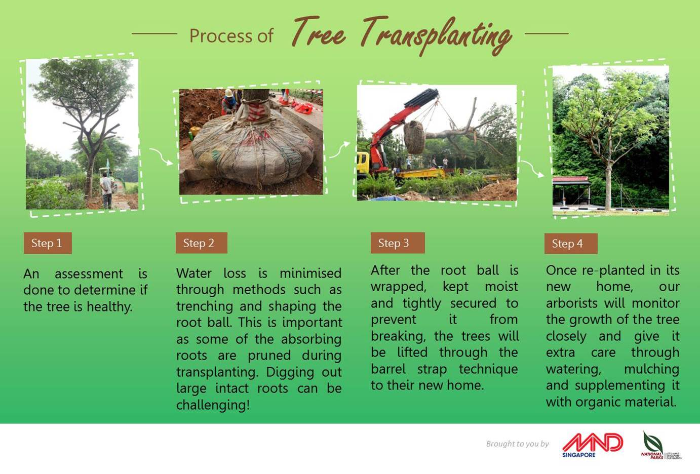 2 100 trees transplanted last year khaw home u0026 living