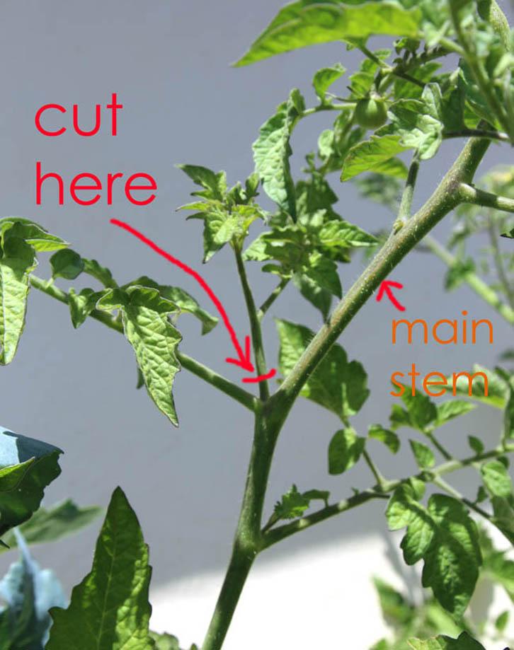 Cara Mudah Menanam Tomat Dalam Satu Minggu Rumah Dan Gaya Hidup Rumah Com
