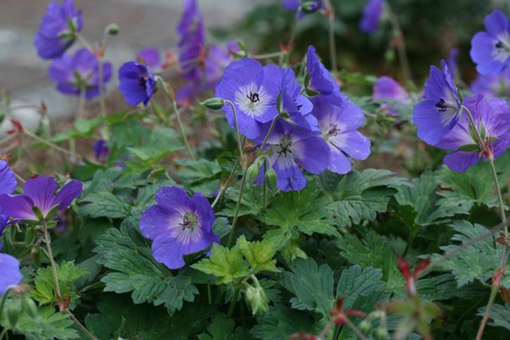 6 pot tanaman geranium akan cukup untuk memenuhi area taman ukuran standar selama beberapa tahun ke depan.