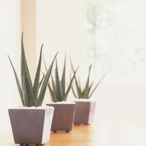 tanaman dalam apartemen-aloe vera