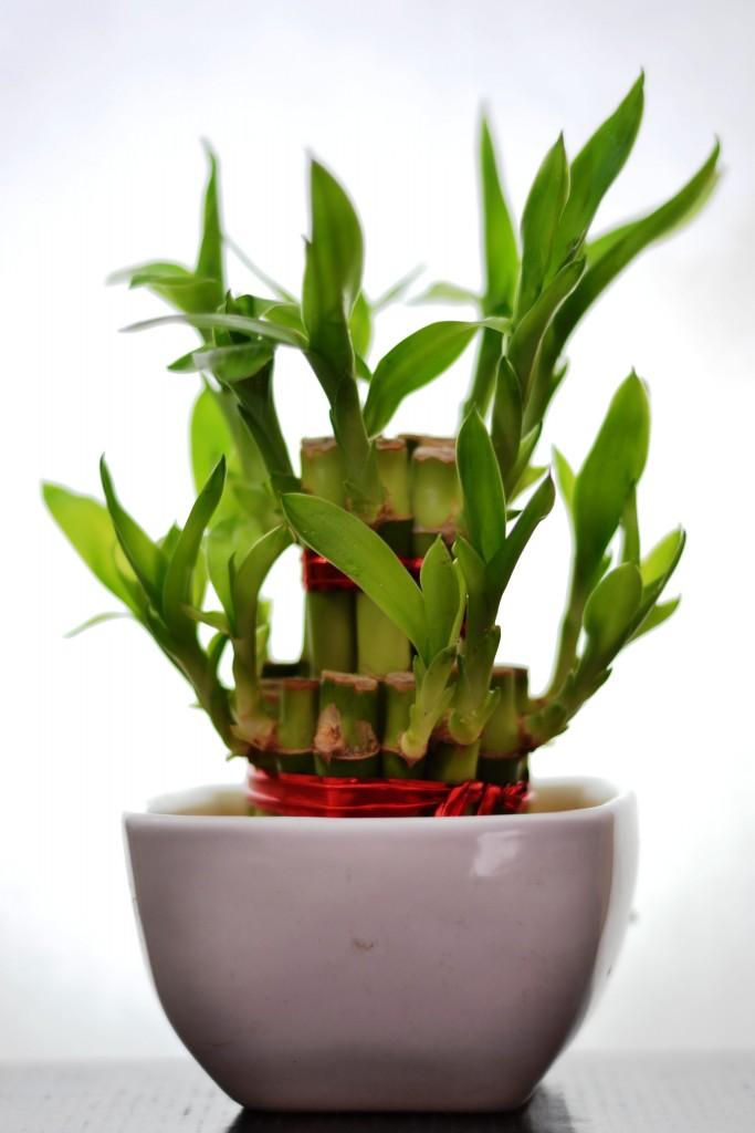 tanaman dalam apartemen-bambu air