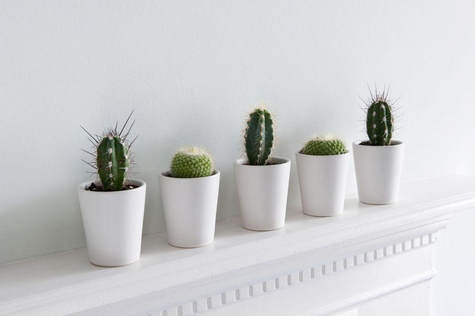 tanaman dalam apartemen-kaktus