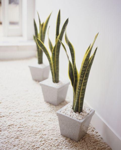 tanaman dalam apartemen-lidah mertua