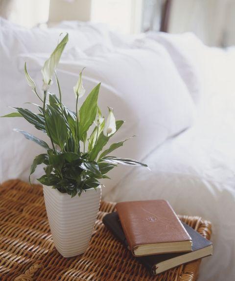 tanaman dalam apartemen-lili paskah
