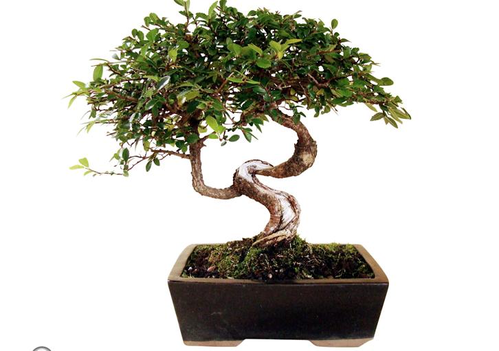 merupakan tanaman tradisional yang sempurna untuk menghias kamar tidur
