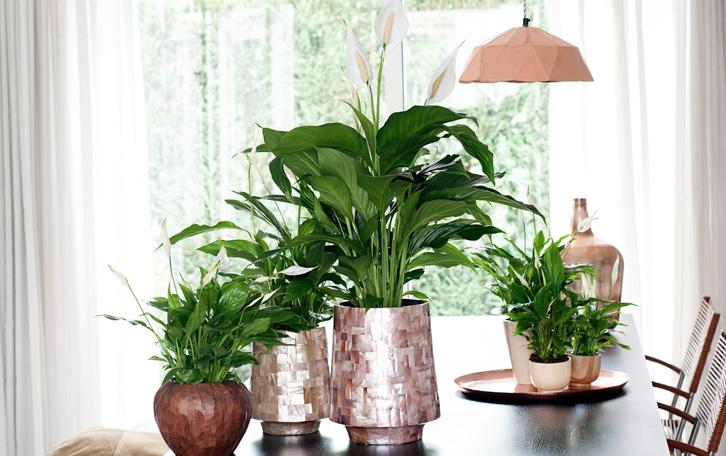 tanaman ini cocok untuk setiap ruangan