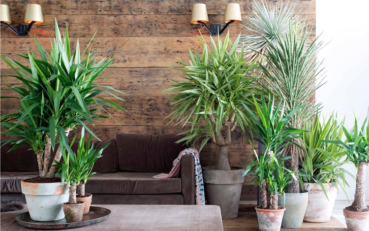 tanaman ini menciptakan nuansa tropis di dalam kamar Anda