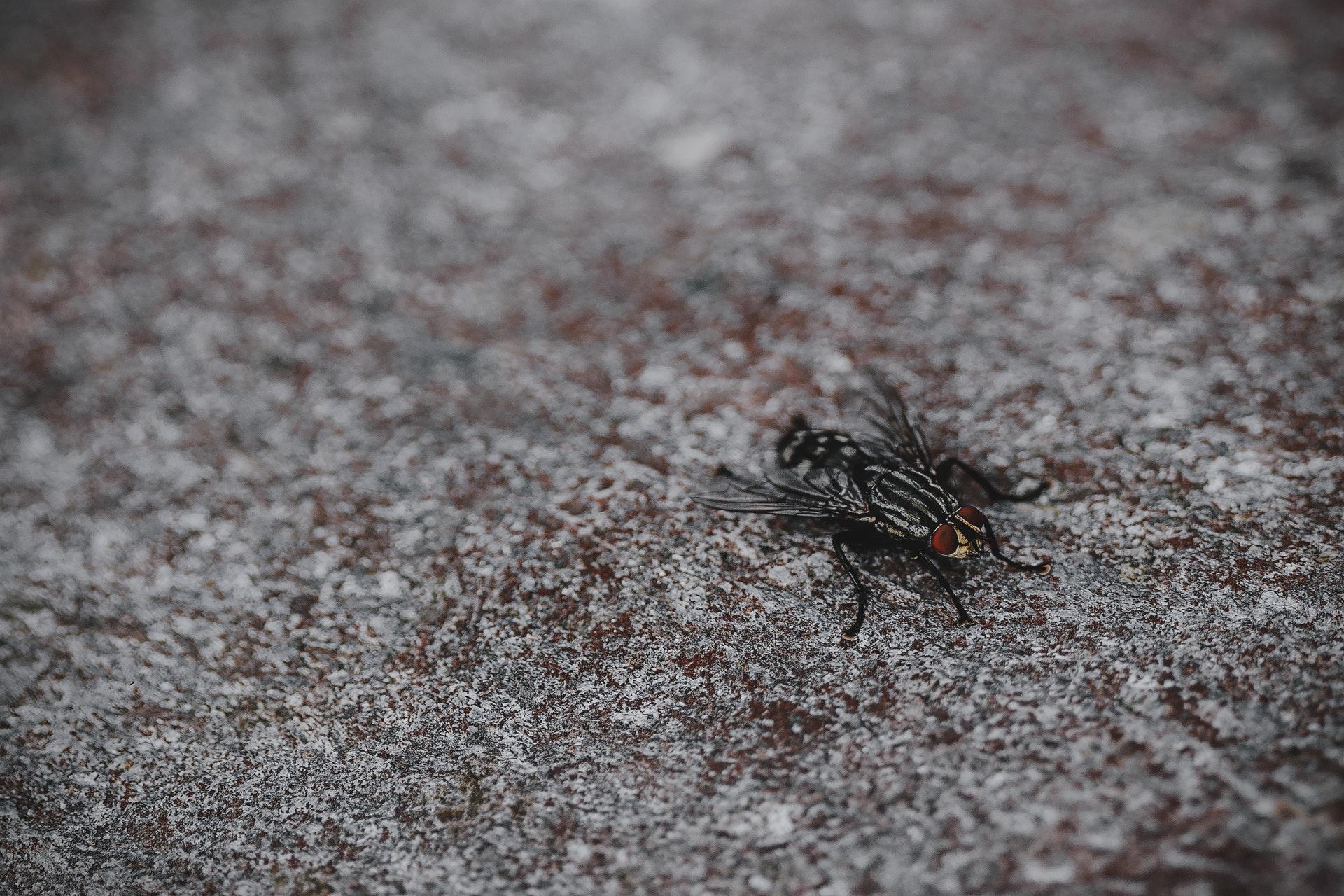 housefly, lalat