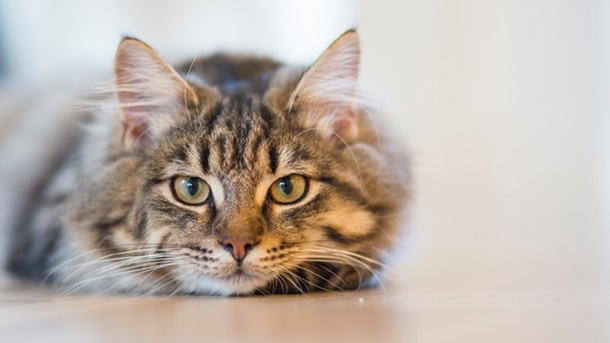 Cara mengusir cicak ini ampuh karena kucing merupakan predator alami bagi cicak. (Foto: Pexels)