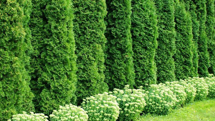 Model Pagar Rumah Minimalis Warna Putih  9 pagar tanaman membuat rumah makin cantik rumah com