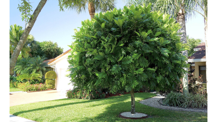 Buat Halaman Rumah Anda Lebih Asri dan Sejuk dengan Beberapa Pohon Rindang Ini !
