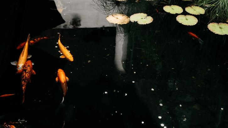 Gemercik air dan ikan dari kolam membuat sejuk (Foto: Pixabay)