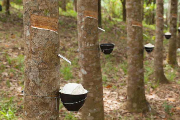 Rubber plantations in Ang Mo Kio were a source of income for many settlers in the past - PropertyGuru Singapore