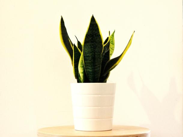 Ujung runcing lidah mertua merupakan bentuk adaptasi tanaman ini untuk melindungi diri. (Foto: Pixabay)