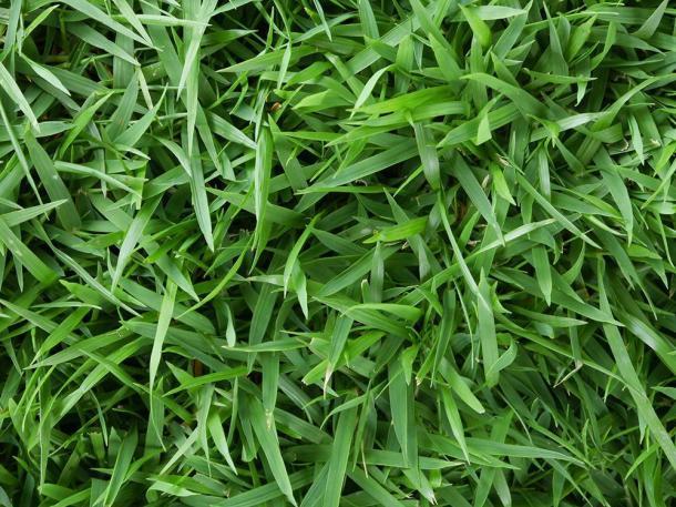 Rumput Jepang memiliki bentuk yang meruncing, kurus dan tipis sehingga akan terasa tertusuk jika diduduki. (Foto: Home Depot)