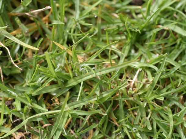 Rumput peking memiliki karakter yang mirip dengan rumput Jepang, tetapi tumbuhnya lebih jarang-jarang. (Foto: Aecos)