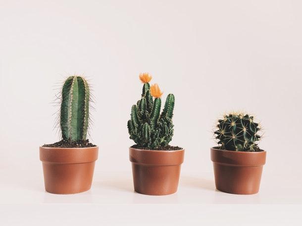 15 Jenis Kaktus Cantik Untuk Dekorasi Ruangan Rumah Com