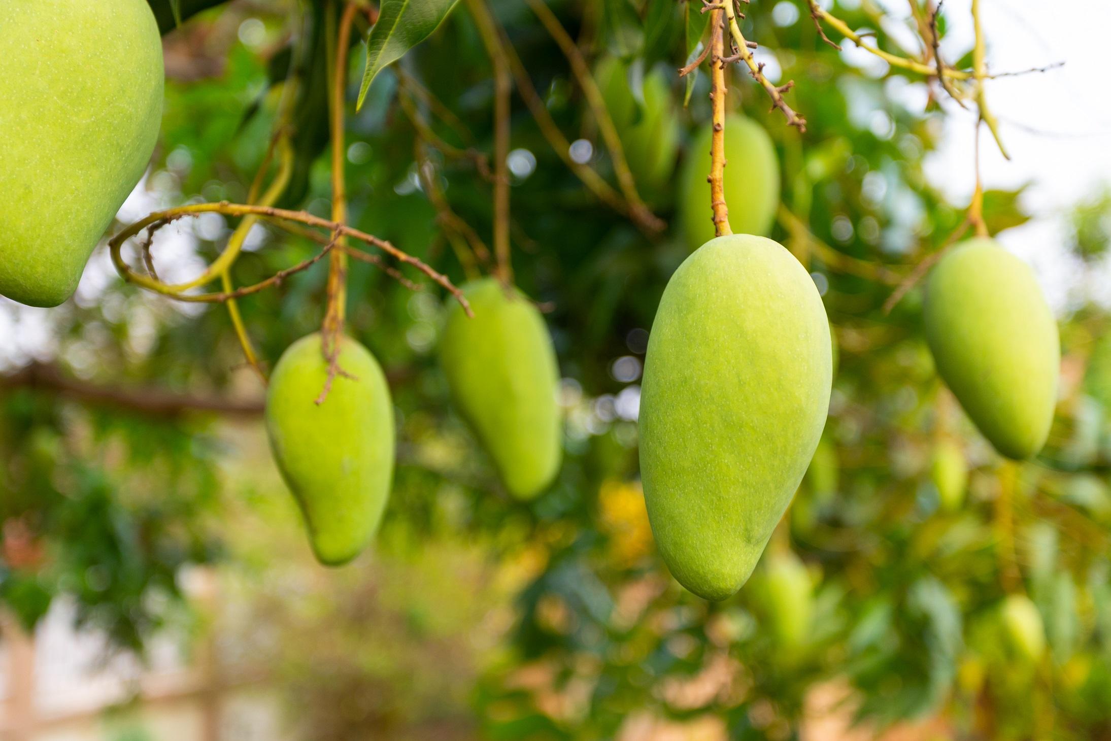 7 Tips Ini Akan Membuat Pohon Mangga Berbuah Lebat Rumah Com