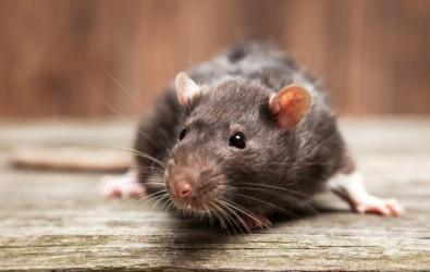 tikus, kencing tikus, keladi tikus, perangkap tikus, racun tikus, tikus mondok, cara halau tikus, cara menghalau tikus, tikus belanda, petua halau tikus, penyakit kencing tikus, simptom kencing tikus, tahi tikus, halau tikus