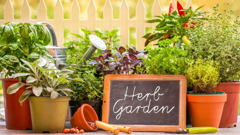 Malaysian herbs, Malay herbs, DIY and gardening in Malaysia, Kitchen garden, Malaysian herbs list, Malaysia herbs, Herbs in malaysia, Herbs garden, Herbs, Chinese herbs, Herbs and spices, Herbal plants