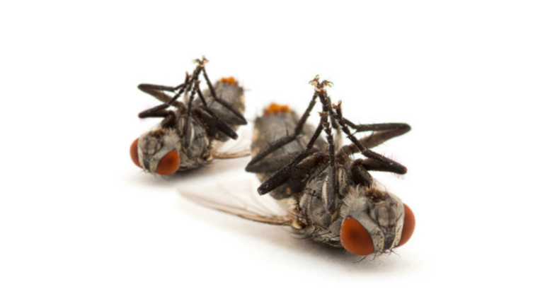 lalat, lalat buah, perangkap lalat, cara halau lalat, telur lalat, perangkap lalat buah, gambar lalat, petua halau lalat, kitaran hidup lalat, lalat hijau, cara menghalau lalat, pelekat lalat