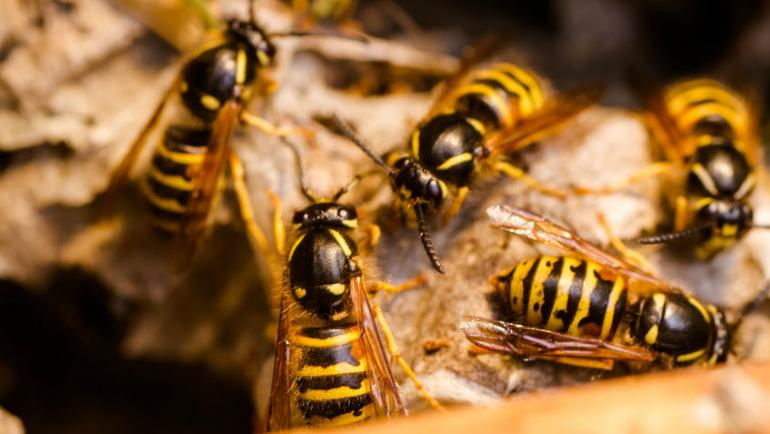 tebuan tanah, sarang tebuan, tebuan in english, sarang tebuan tanah, jenis tebuan, disengat tebuan, sengatan tebuan, kena sengat tebuan, tebuan vs lebah, gambar tebuan