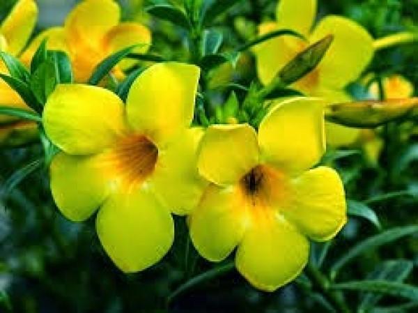 Bunga Allamanda Kuning