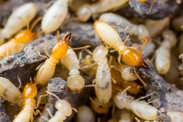 serangga perosak, haiwan perosak, makhluk perosak, semut, lalat, cicak, nyamuk, lipas, tikus, anai anai, pepijat, lipan, tebuan, petua