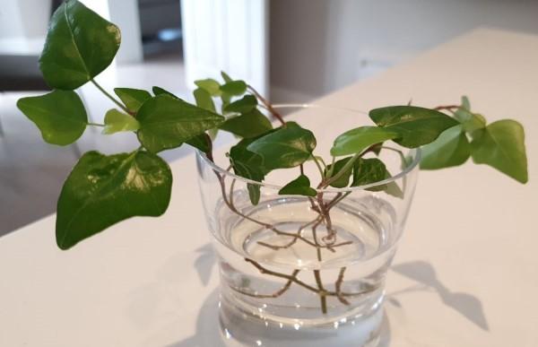 propagate-ivy-in-water-18