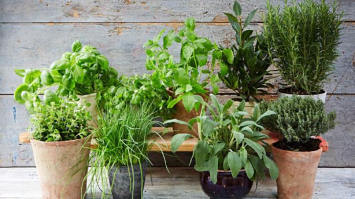 Tanaman herbal bisa menjadi sebuah pengganti yang baik dari obat. (Foto: Jamie Oliver)
