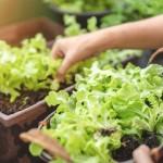 ปลูกผักสลัดง่าย ๆ ในบ้านคุณ