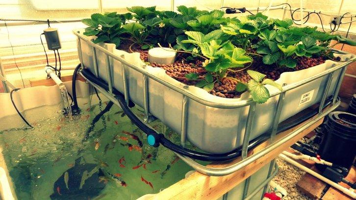 Aquaponik dapat dibuat di lahan sempit dan tanpa menggunakan tanah. (Foto: urbalfood.org)