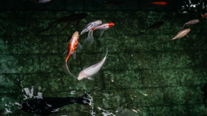Ikan koi memiliki nilai ekonomis yang tinggi sehingga banyak orang memeliharanya di rumah. (Sumber: Pexels.com)