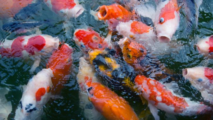 Komponen dalam sebuah kolam ikan koi harus selalu dirawat agar kebersihan kolam terjaga. (Sumber: Pexels.com)