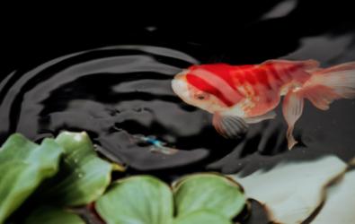 i. Kolam Ikan Koi Modern