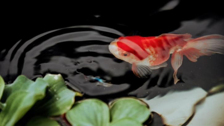 Dengan mengikuti aturan Feng Shui, menambahkan kolam ikan dipercayai dapat mendatangkan keberuntungan. (Sumber: Pexels.com)