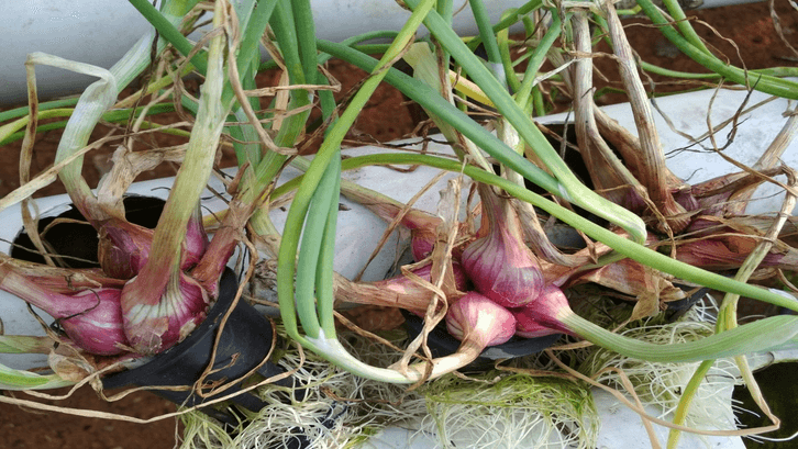 Bawang merah ditanam dengan metode hidroponik. (Sumber: Cikadu Desa)