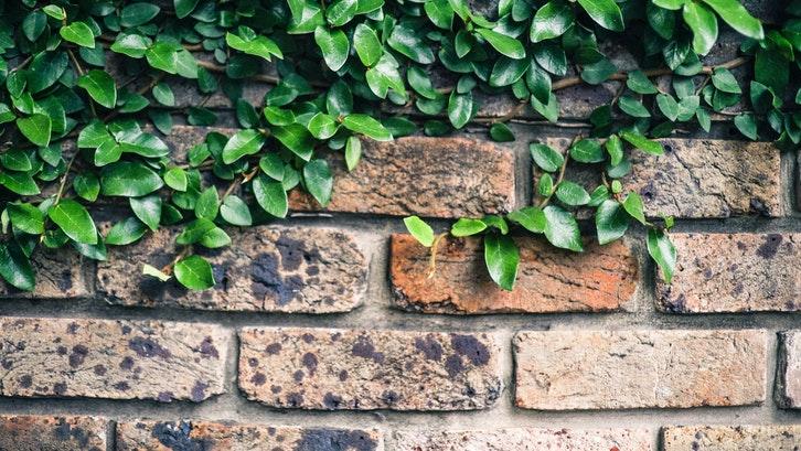 Daun dolar pada dinding. (Foto:Pexels)