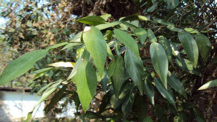 Tanaman Pothos scandens. (Foto: wikimedia.org)
