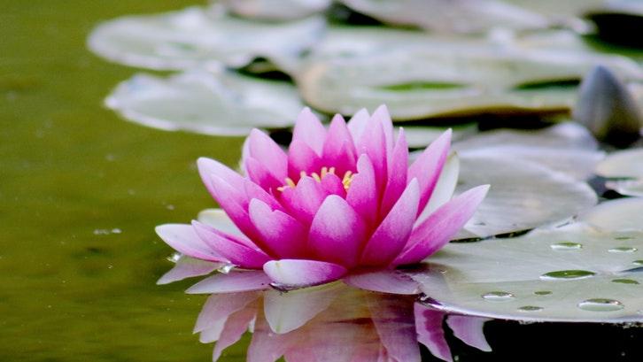 Bunga teratai. (Foto:Pexels)