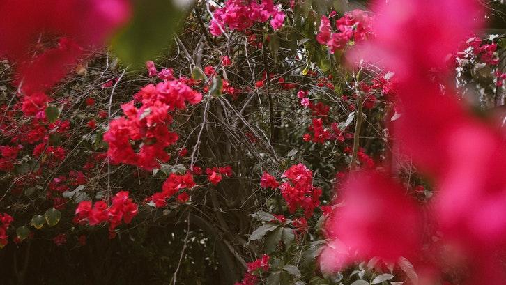 Bunga bugenvil yang cantik. (Foto:Pexels)