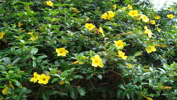 Bunga alamanda. (Foto:Pinterest)