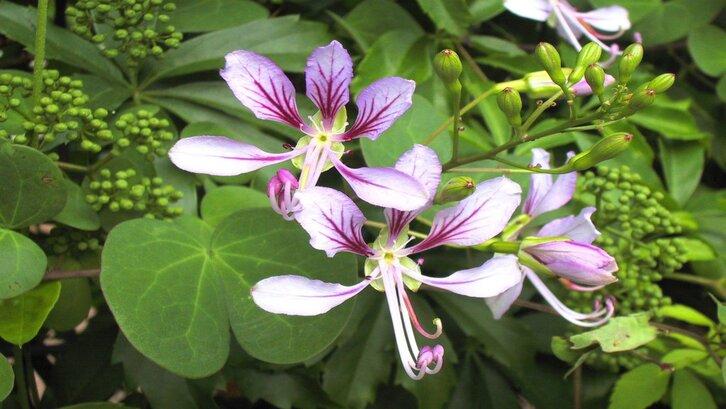 Spesies bauhinia. (Foto: theplantattraction.com)