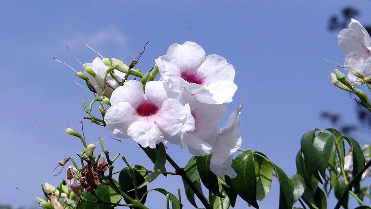 Bunga pandorea. (Foto: Pixabay)