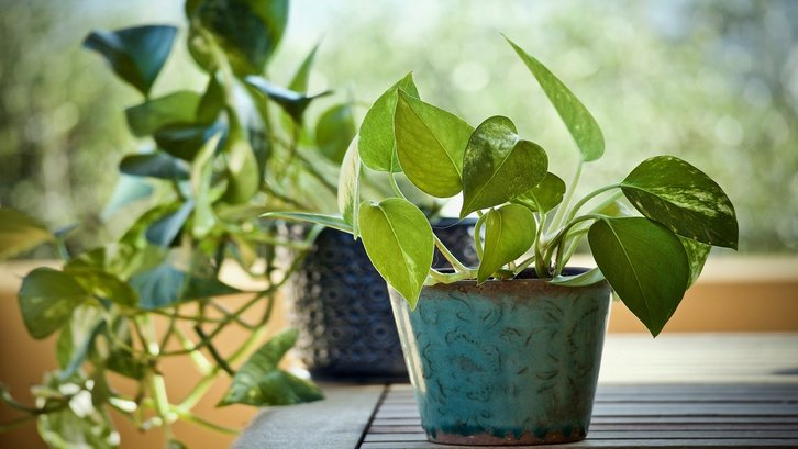 Tanaman indoor devil's ivy. (Foto:Pixabay)