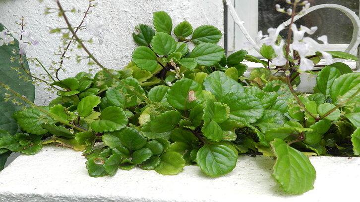 Tanaman merambat indoor devil's ivy. (Foto: wikimedia.org)