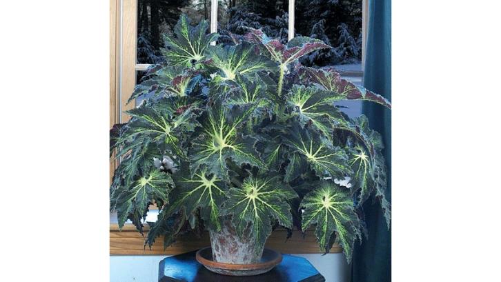 Begonia 4