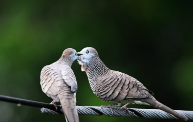 Burung Perkutut 1