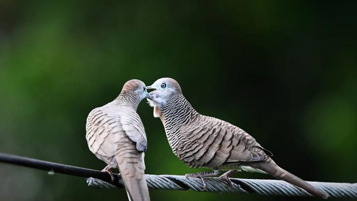 7 Ciri Burung Perkutut Bagus Dan Jenisnya Rumah Com