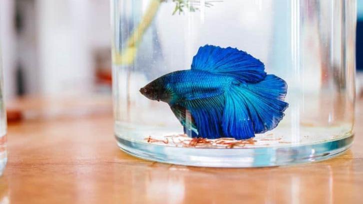 8 Panduan Budidaya Ikan Cupang Bagi Pemula Rumah Com